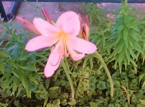 Pink Ladies 001