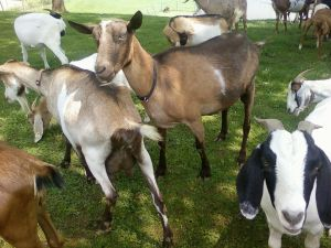 Dairy Goats 002