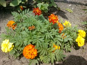 Marigolds 001