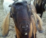 dairy goat buck