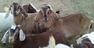 Goats and Critters 006