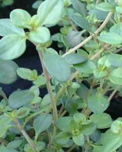 lemon thyme - herbs