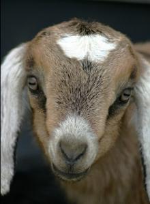 newborn goat kid www.anniesgoathill.com